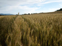 Raccolto di grano dorato nel sole di luglio Fotografia Stock Libera da Diritti