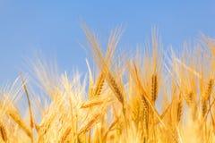 Raccolto di grano maturo fotografia stock