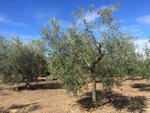 Raccolto di oliva Fotografia Stock