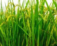 Raccolto di paraurti dal terreno coltivabile Fotografia Stock