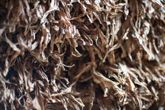 Raccolto di Tabacco immagine stock