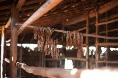 Raccolto di Tabacco fotografia stock libera da diritti