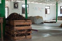 Raccolto di Tabacco fotografie stock libere da diritti