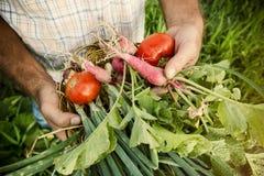 Raccolto di verdure in un giardino Immagine Stock Libera da Diritti