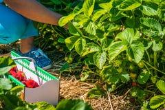 Raccolto di Woomen della fragola organica fresca nel campo Immagine Stock