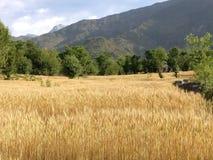 Raccolto dorato del grano nei giacimenti di grano himalayani del terreno coltivabile n del terrazzo della steppa della montagna Fotografie Stock