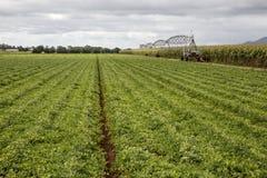 Raccolto e Sugar Cane di legumi Fotografie Stock Libere da Diritti