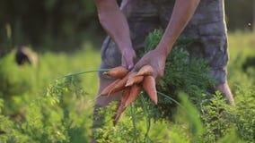Raccolto e tenuta dell'agricoltore un prodotto biologico delle carote video d archivio