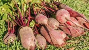 Raccolto fresco della barbabietola organica, raccolto in un mucchio sull'erba verde Fotografia Stock