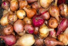 Raccolto fresco della cipolla Immagine Stock Libera da Diritti