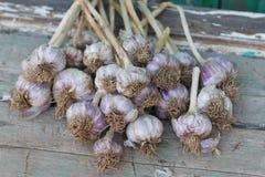 Raccolto fresco organico dell'aglio fotografie stock libere da diritti