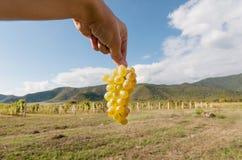 Raccolto fresco in valle dell'uva Mazzo di uva succosa nella mano e nel cielo blu del ` s dell'agricoltore su fondo Immagine Stock Libera da Diritti