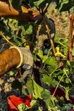 Raccolto in Italia Fotografia Stock Libera da Diritti