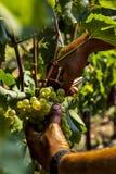 Raccolto in Italia Fotografia Stock