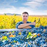 Raccolto Mediterraneo Cabernet-Sauvignon dell'agricoltore della vigna Fotografie Stock Libere da Diritti