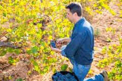 Raccolto Mediterraneo Cabernet-Sauvignon dell'agricoltore della vigna Immagini Stock Libere da Diritti