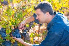 Raccolto Mediterraneo Cabernet-Sauvignon dell'agricoltore della vigna Fotografie Stock