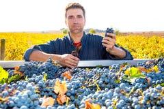 Raccolto Mediterraneo Cabernet-Sauvignon dell'agricoltore della vigna Immagini Stock