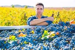 Raccolto Mediterraneo Cabernet-Sauvignon dell'agricoltore della vigna Fotografia Stock
