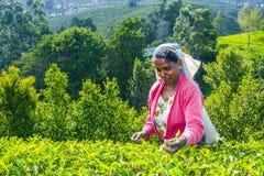 Raccolto nei campi del tè, tè Fotografia Stock