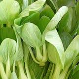 Raccolto organico di pakchoi della lattuga in azienda agricola Fotografia Stock Libera da Diritti