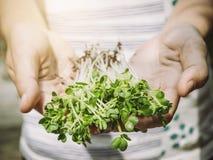 Raccolto organico di verdure dell'azienda agricola della tenuta di Hand dell'agricoltore Fotografia Stock Libera da Diritti