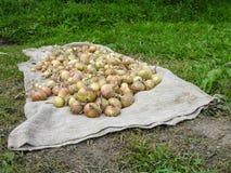 Raccolto ricco delle cipolle Fotografia Stock