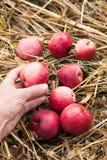 Raccolto rosso fresco della mela di autunno, frutteto delizioso di ecologia fotografia stock libera da diritti
