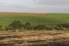 Raccolto Sugar Cane Fotografia Stock Libera da Diritti