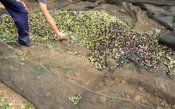 Raccolto tradizionale di di olivo a mano in Andalusia, Spagna Fotografie Stock