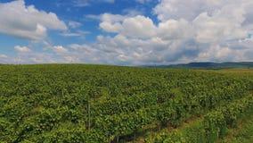 Raccolto Ucraina Europa della cantina del paesaggio di agricoltura della vigna della campagna archivi video