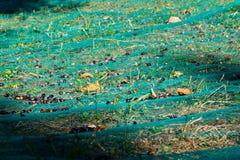 Raccolto verde oliva Immagini Stock