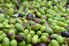 Raccolto verde oliva in Toscana Immagine Stock