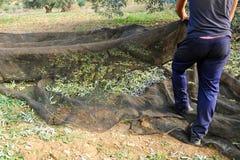 Raccolto verde oliva tradizionale, Andalusia, Spagna Immagini Stock Libere da Diritti