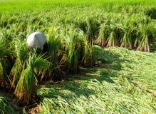 Raccolto vietnamita dell'agricoltore su un giacimento del riso Immagini Stock