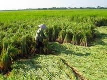Raccolto vietnamita dell'agricoltore su un giacimento del riso Fotografia Stock Libera da Diritti