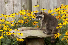 Raccon drins from daisy surrounded birdbath. Raccoon sips water from a sandstone bird bath. birdbath is surrounded by black eyed susan. raccoon's eyes focus back Royalty Free Stock Image