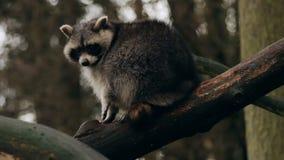 Raccon que se sienta en un árbol que mira alrededor del primer almacen de video