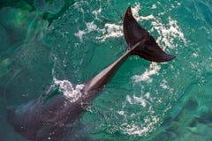 Racconto del delfino del Bottiglia-naso sopra l'acqua fotografia stock libera da diritti
