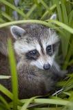raccoon младенца стоковое изображение rf