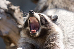 raccoon рта стоковое фото
