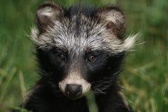 raccoon собаки Стоковое Изображение