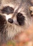 raccoon стороны Стоковая Фотография