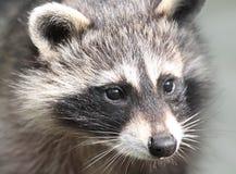 raccoon стороны Стоковое Изображение