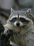 raccoon толщиной Стоковые Фото