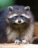 The raccoon Royalty Free Stock Photo