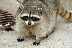 Raccoon Royalty Free Stock Photos