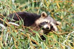 raccoon Fotografía de archivo