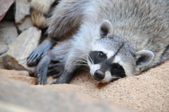 Raccoon. From Tuscon Arizona Sonora Desert Museum Royalty Free Stock Image