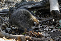 Raccoon. Picture of a wild raccoon in it's natural environment Stock Photos